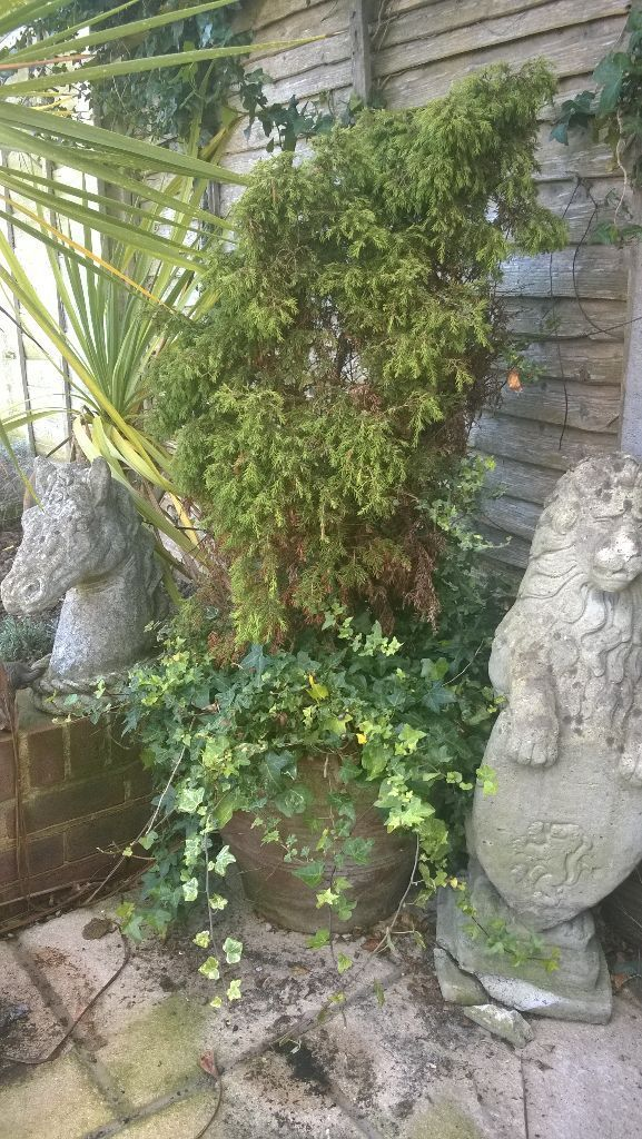 Ten Year Old Conifer And Ivy In Terracotta Pot Conifer