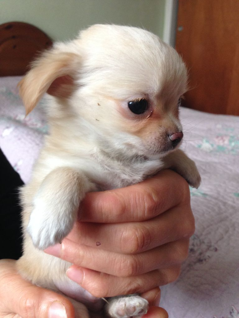 chihuahua puppies for sale united kingdom gumtree
