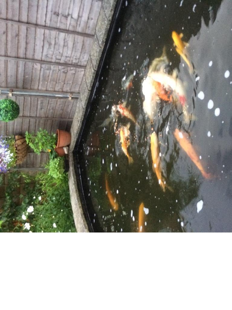 Contact mark for Big koi carp for sale