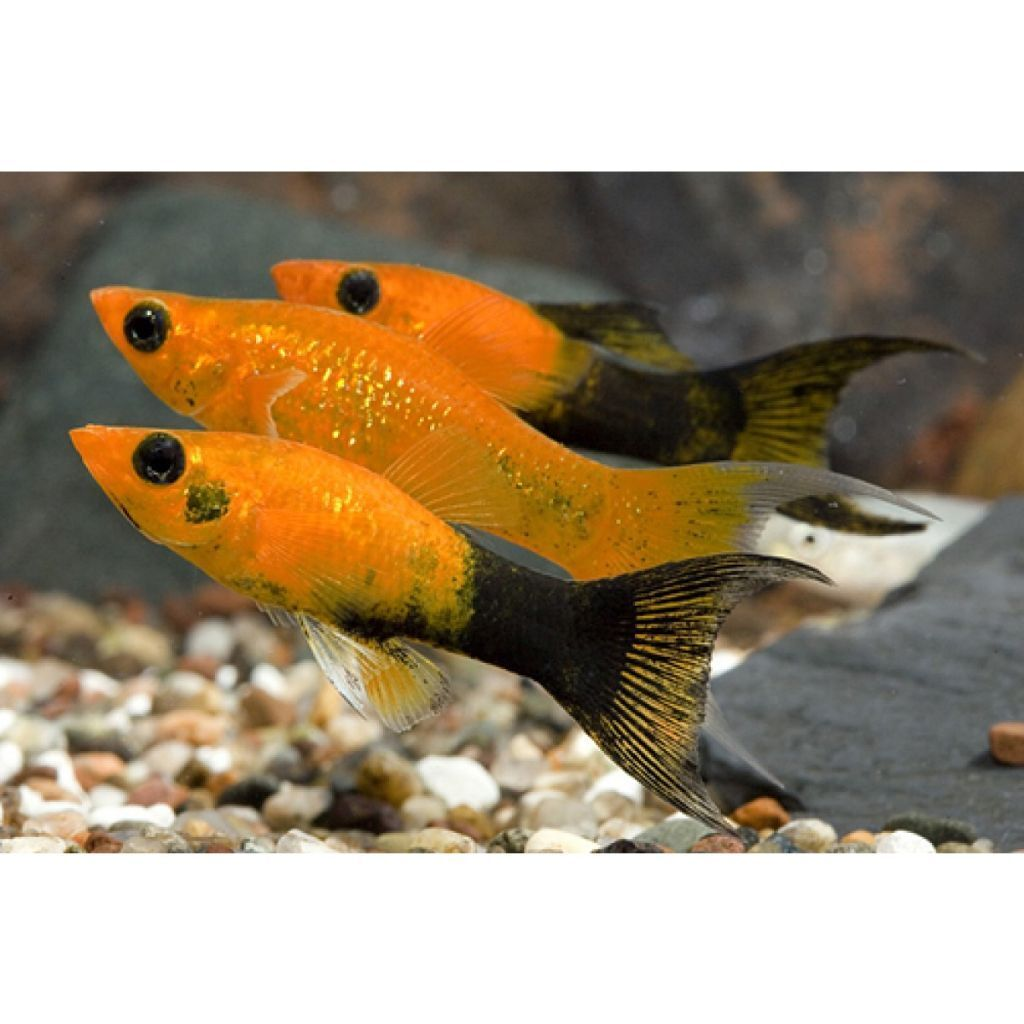 Discus fish for sale glasgow tropical fish for sale for Pet fish for sale