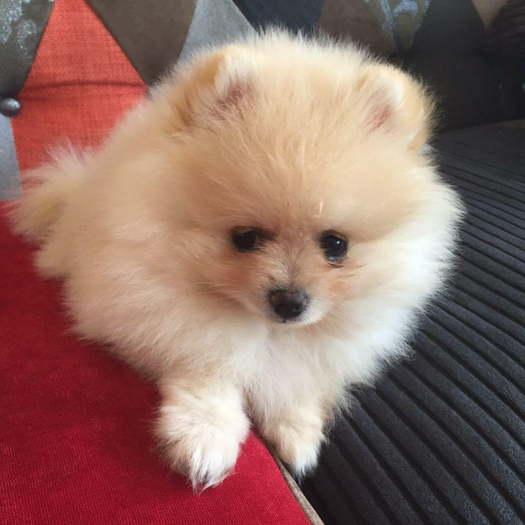 Rare top quality shades cream teacup Pomeranian puppy ... | 1024 x 1024 jpeg 106kB