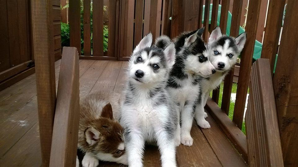 Gumtree Dogs For Sale Ireland