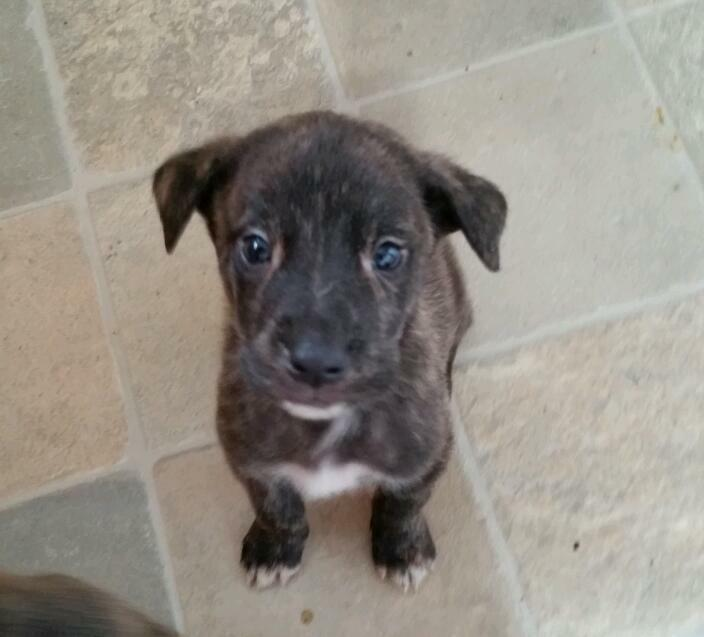 puppy s for sale united kingdom gumtree