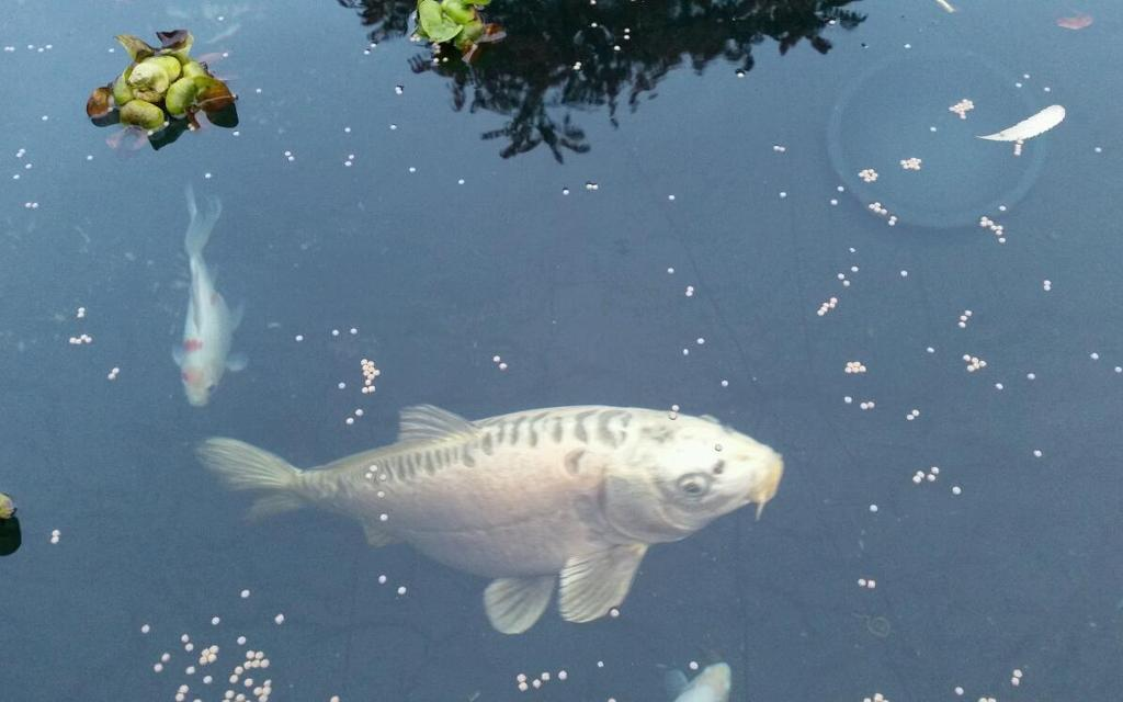Large koi carp fish for sale united kingdom gumtree for Large koi for sale