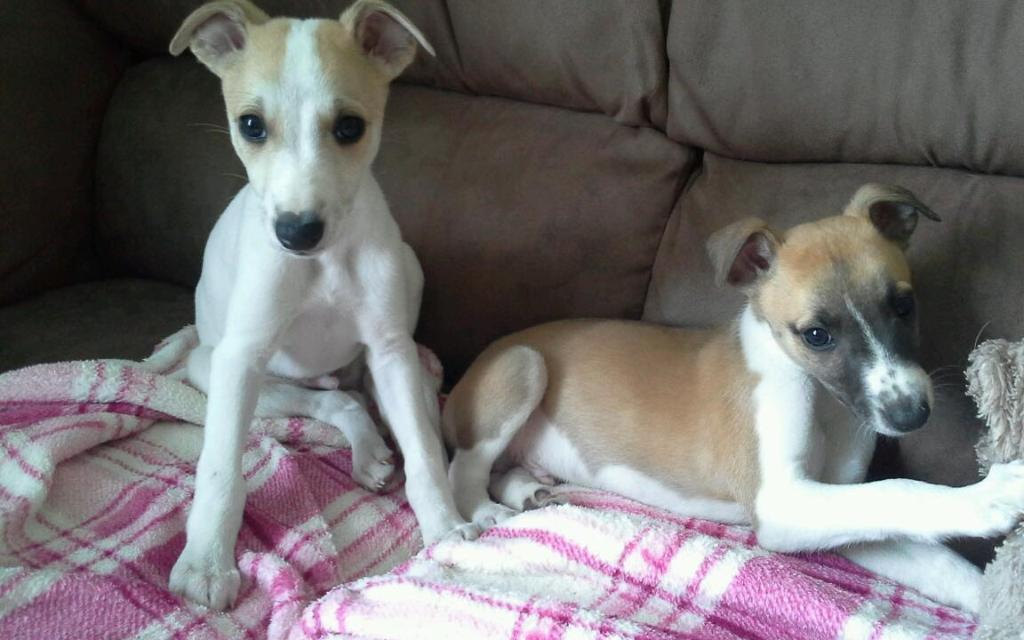 whippet puppies united kingdom gumtree