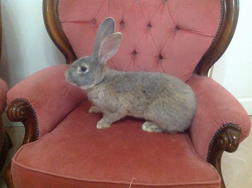 Chinchilla Giganta Rabbit With Chinchilla Giganta