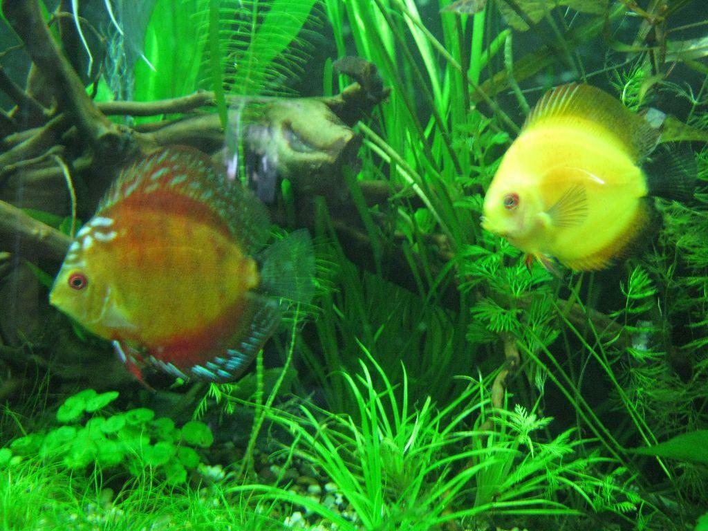 Discus fish for sale london discus fish for sale at for Discus fish for sale cheap