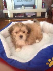 lhasa apso puppies in scotland dogs amp puppies for sale