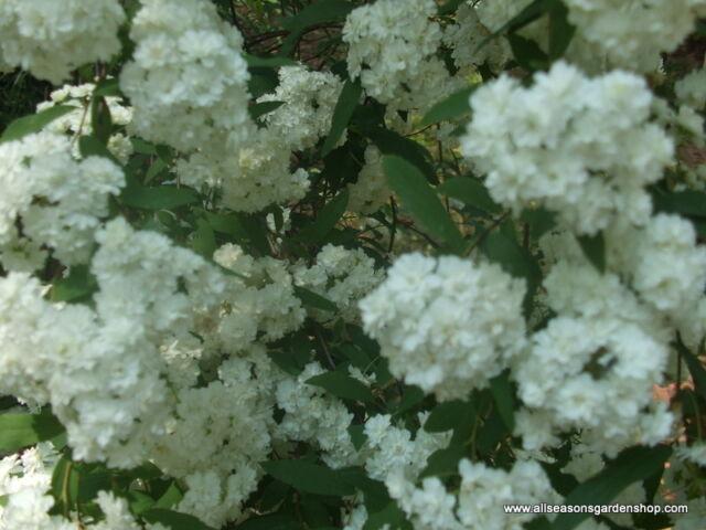 Bridal Wreath Spiraea Spring Flowering White Flowers Ten Plants | eBay