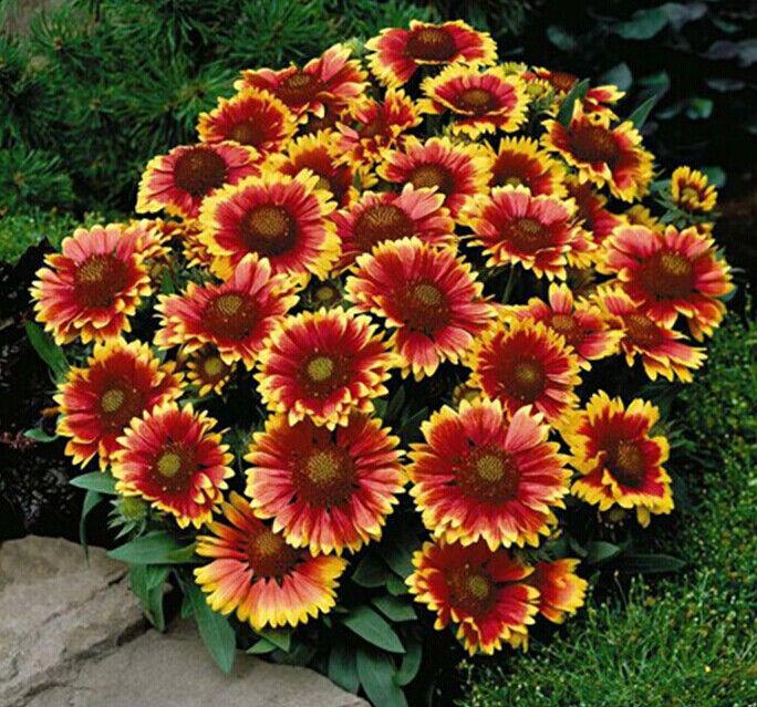 350 gaillardia aristata seeds blanket flower pulchella garden picture 1 of 3 mightylinksfo