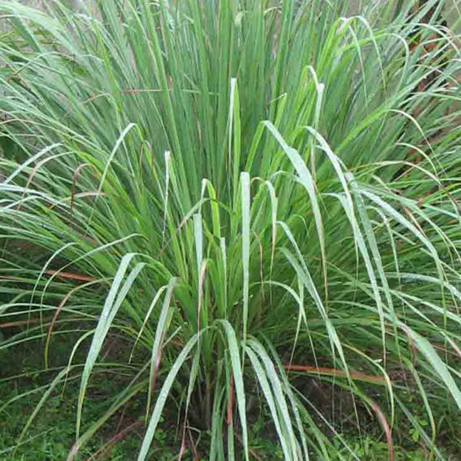 How to grow lemon grass from seed - Picture 1 Of 7