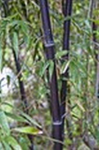 1000 Samen des Schwarzer Riesenbambus - Dendrocalamus strictus Kalkuttabambus