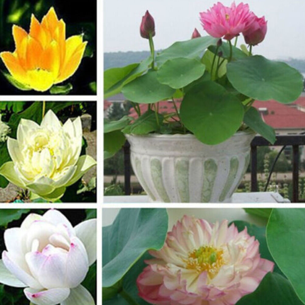 10x Rare Lotus Nymphaea Asian Water Lily Pad Flower Pond Seeds