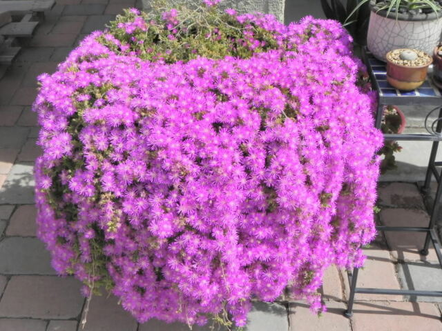 18 cuttings ice plant purple ground cover rare cactus succulent 18 cuttings ice plant purple ground cover rare cactus succulent flower pink mightylinksfo Image collections