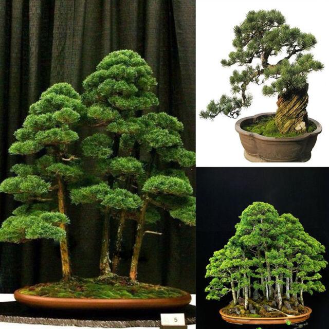 office bonsai. 20Pc Organic Juniper Bonsai Plant Tree Seeds Bulbs Home Garden Office Decor New T