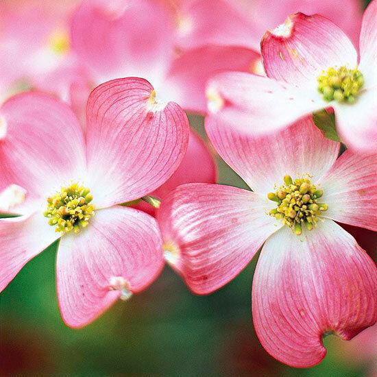 2 pink flowering dogwood treescornus florida ruba ebay 2 pink flowering dogwood treescornus florida ruba mightylinksfo Choice Image