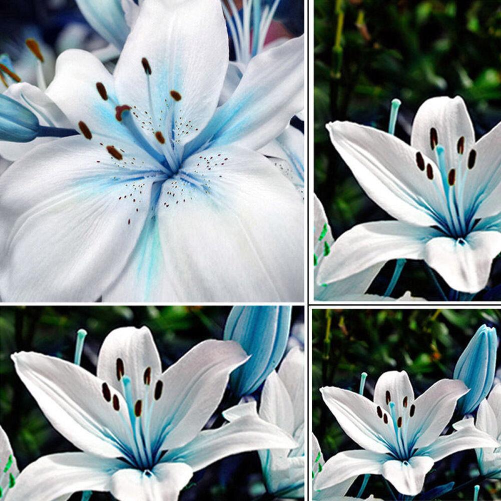 50pc blue lily flower bulbs seeds oriental scented garden plants 50pc blue lily flower bulbs seeds oriental scented garden plants stargazer decor ebay izmirmasajfo Gallery