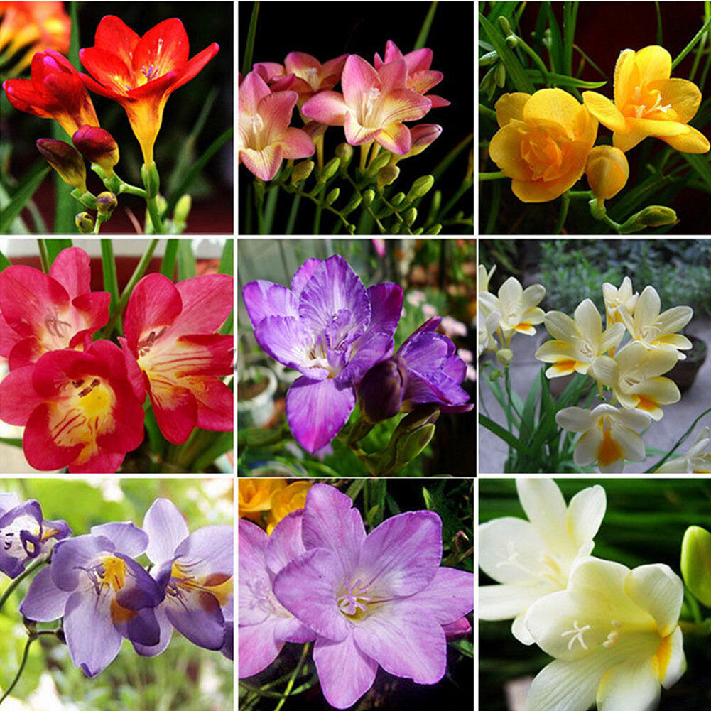 100pcs Freesia Bulbs Old Fashion Perfume Flower Seeds Garden Plant