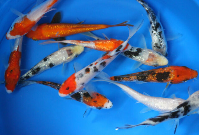 100 pack of 3 inch koi live fish tank koi pond aquarium