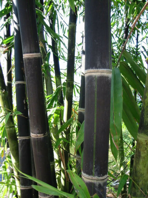 40 Giant Black Java Bamboo Seeds Rare Hard To Find Usa Er Fast Shipping