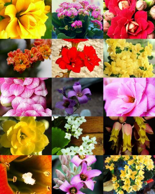 Flowering Kalanchoe Mix RARE Plant Exotic Cactus Flower Succulents ...