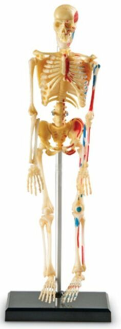 Learning Resources Human Skeleton Body Bones Model Educational Anatomy Toy