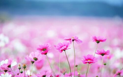 encadrée imprimer-mer de petites marguerites roses (photo poster