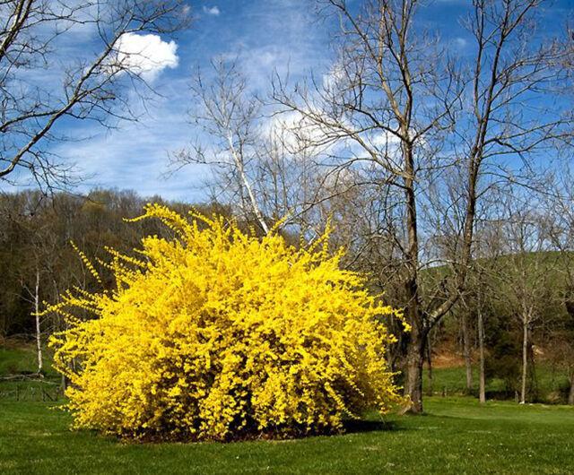 50 Seeds Shrub Yellow Bush Garden Hedge Herbal Weeping Forsythia Tree  Flowers