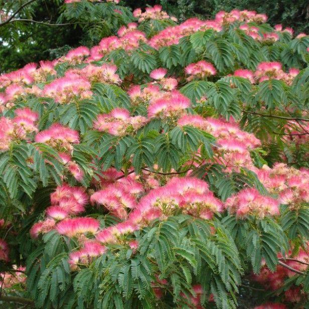 10 mimosa persian silk tree albizia julibrissin flower for Taille d un albizia