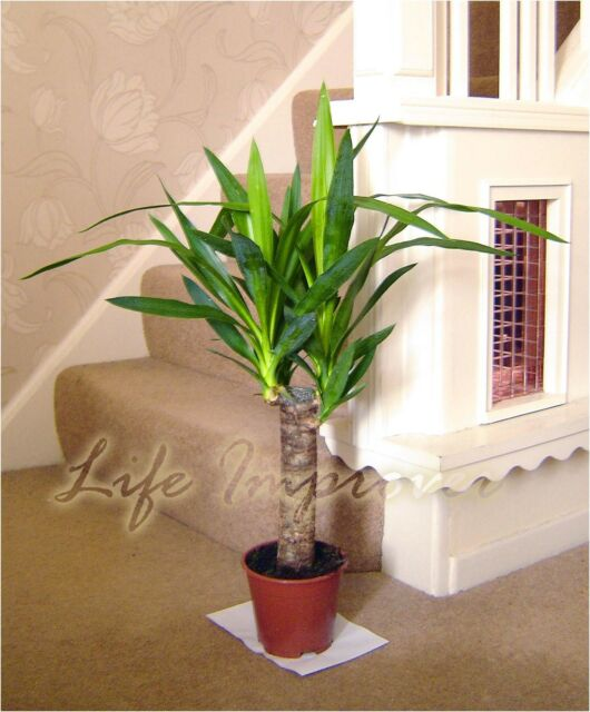 1 Spineless Yucca ELEPHANTIPE Evergreen Indoor House Plant ...