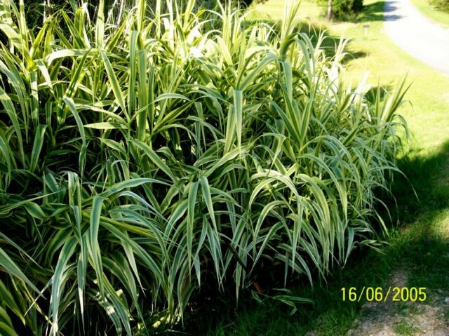 Pictures Of Ornamental Grass Ornamental grass arondo donux grass peppermint stick giant reed non ornamental grass arondo donux grass peppermint stick giant reed non invasive workwithnaturefo