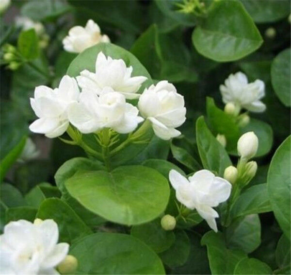 Fd999 gardenia cape jasmine jasminiodes white shrub aromatic best pick mightylinksfo