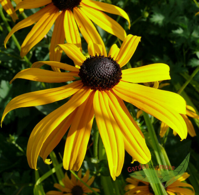 Jumbopflanze, gelber Sonnenhut, Goldsturm, robuster Klassiker fürs Staudenbeet