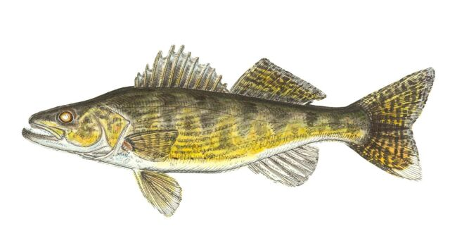 Metal wall art sculpture painting contemporary fish walleye by jeff currier