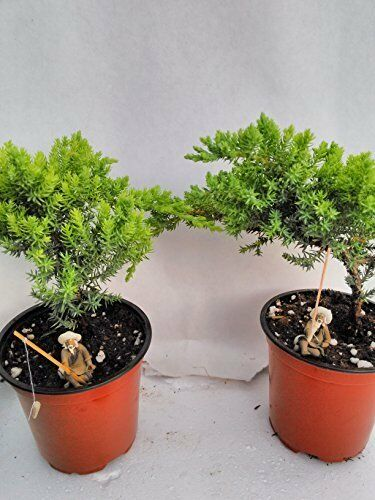 Bonsai Two Juniper Garden Tree 4\'\' Pot Home Decor Plant Live ...