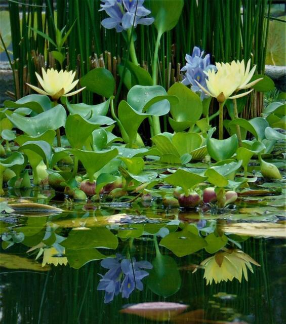 12 live water hyacinths from john 39 s pond plants ebay for Using pond water for plants