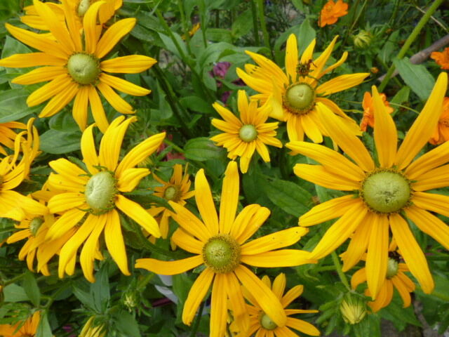 >Rudbeckia hirta < Sonnenhut  Prairie Sun Blüte bis 10 cm