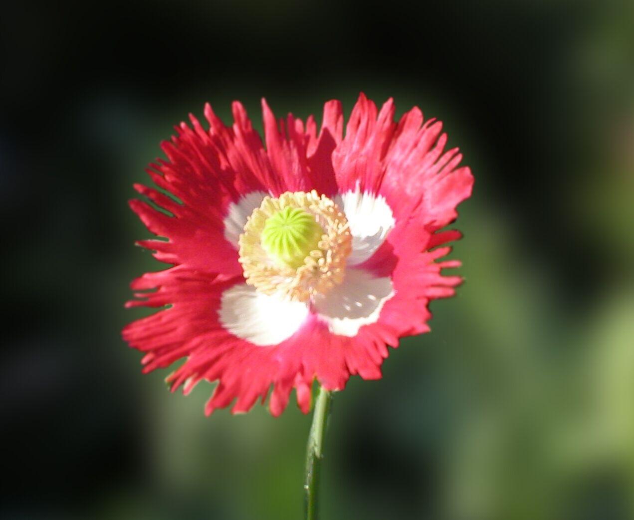 200 Poppy Flower Seeds Dwarf Danish Flag Papaver Poppie Ebay