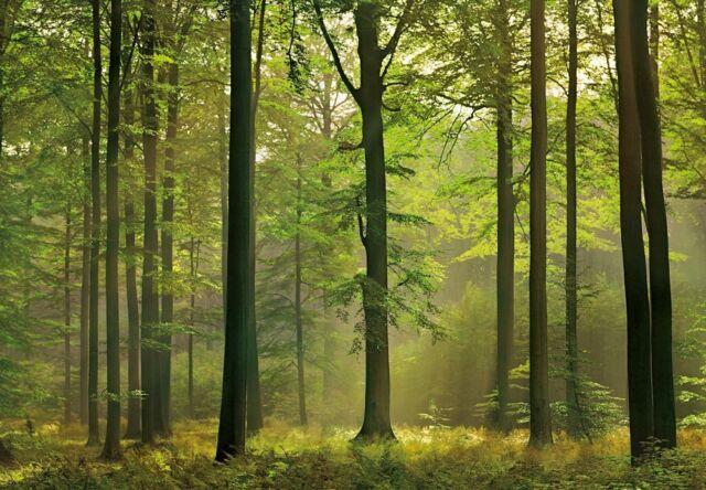 Fototapete Autumn Forest 00216 Wald Waldlichtung Bäume Lichtstrahl 366x254 cm