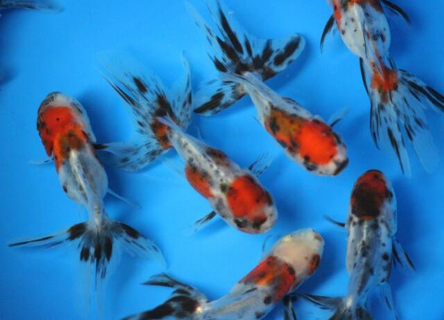 Live calico oranda goldfish sm for fish tank koi pond or for Pet koi fish tank