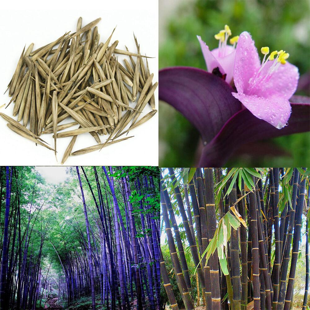100pcs Purple Timor Bamboo Flower Tree Home Potted Ornamental Garden ...