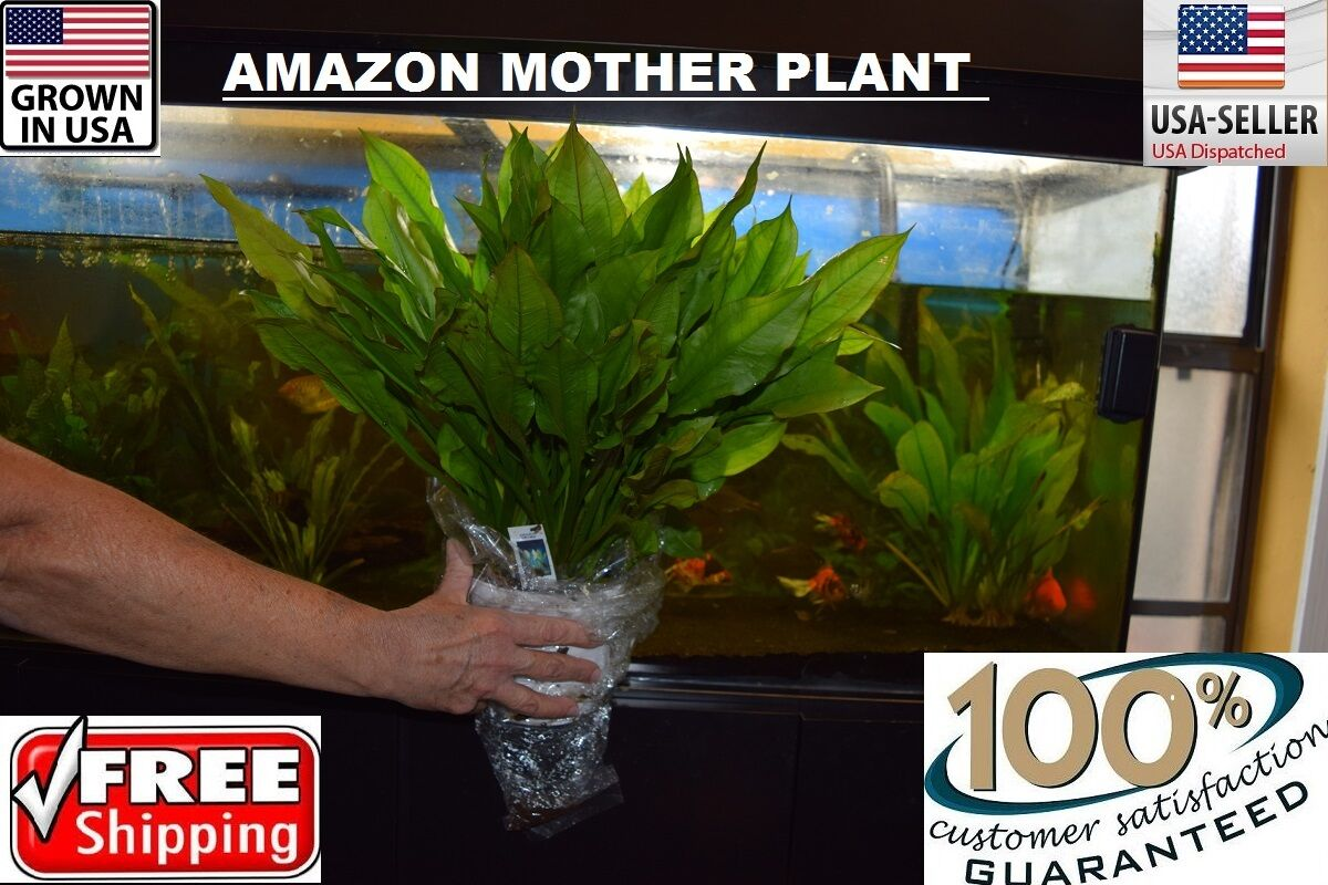 Brand new lowest price & HUGE Amazon Sword Mother Plant Easy Aquarium Aquascaping Planted ... azcodes.com