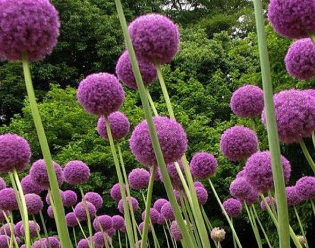 Purple Giant Allium Giganteum Flower Seeds 80 Seeds | eBay
