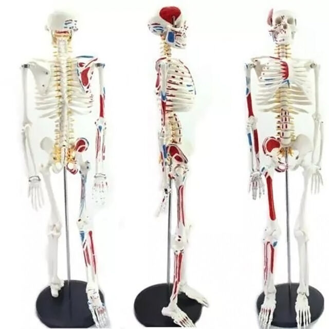 4d Puzzle 85cm Human Skeleton Model Medical Simulation Human Anatomy ...