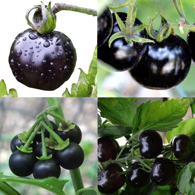 european black cherry tomatoes 50 seeds lycopersicum heirloom non gmo rare juicy ebay. Black Bedroom Furniture Sets. Home Design Ideas
