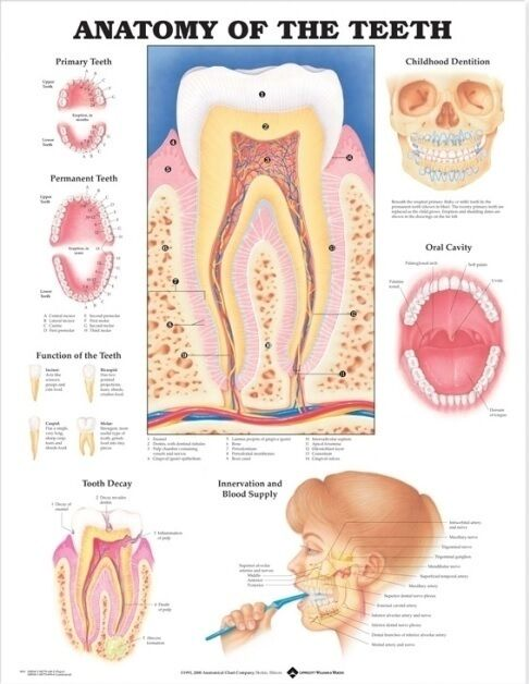 Anatomy Of The Teeth Anatomical Chart By Anatomical Chart Co Fold