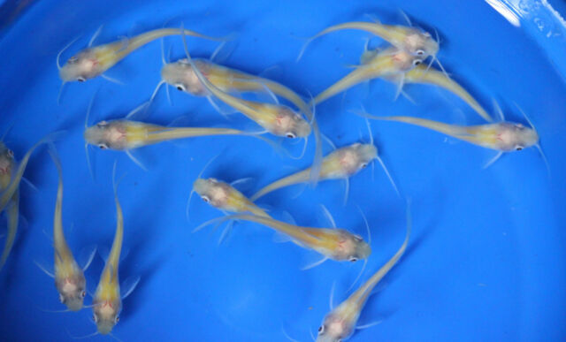 Live albino channel catfish small for fish tank koi pond for Pet koi fish tank