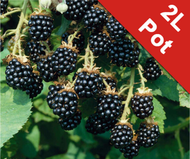 Blackberry Bush Soft Fruit Shrub Edible Loch Ness Bush Rubus Fruticosus 2L Pot
