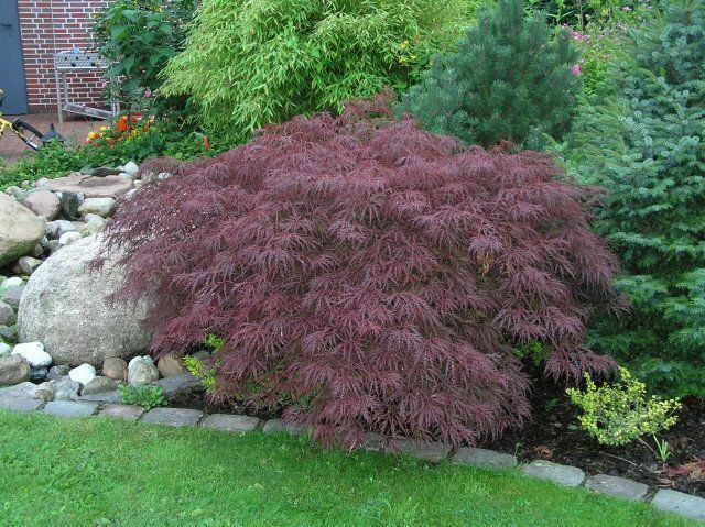 acer palmatum dissectum atropurpureum red laceleaf. Black Bedroom Furniture Sets. Home Design Ideas