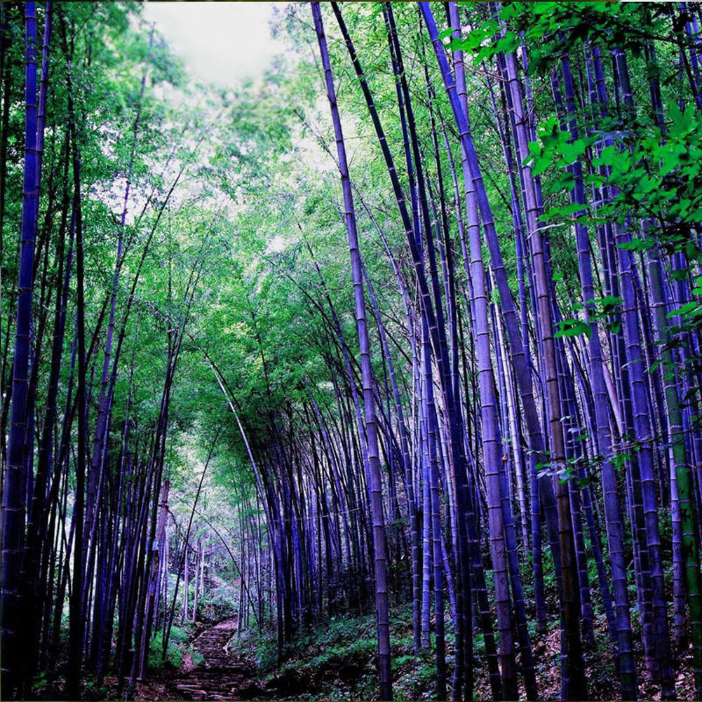 100pcs Purple Timor Bamboo Flower Tree Fancy Potted Ornament Garden ...